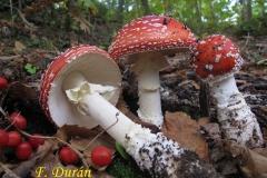 Amaniata muscaria