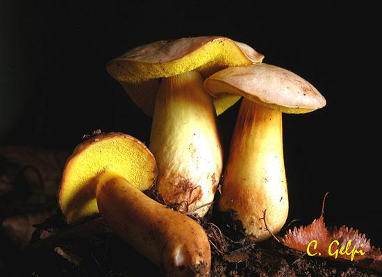 Aureoboletus gentilis