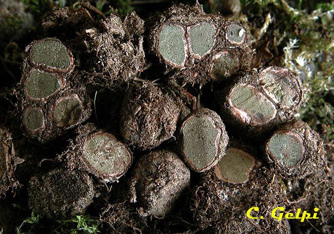 Chondrogaster angustisporus
