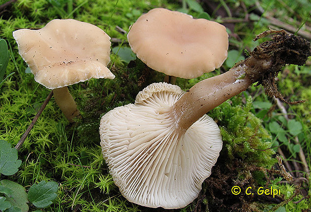 Clitocybe fragans