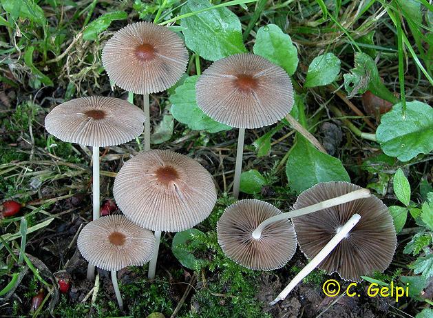 Coprinus auricomus