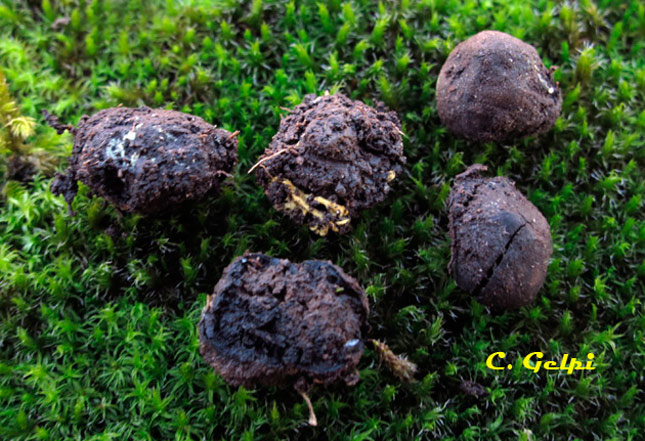 Elaphomyces spirosporus