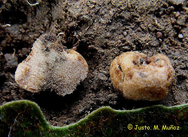 Glomus fasciculatum