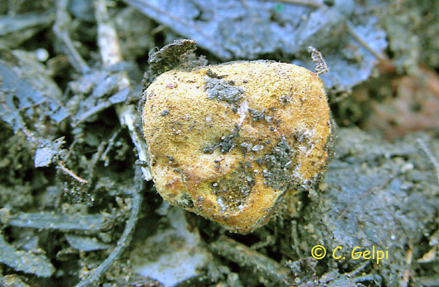 Glomus macrocarpum