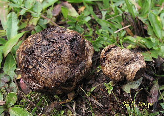 Hymenogaster populetorum