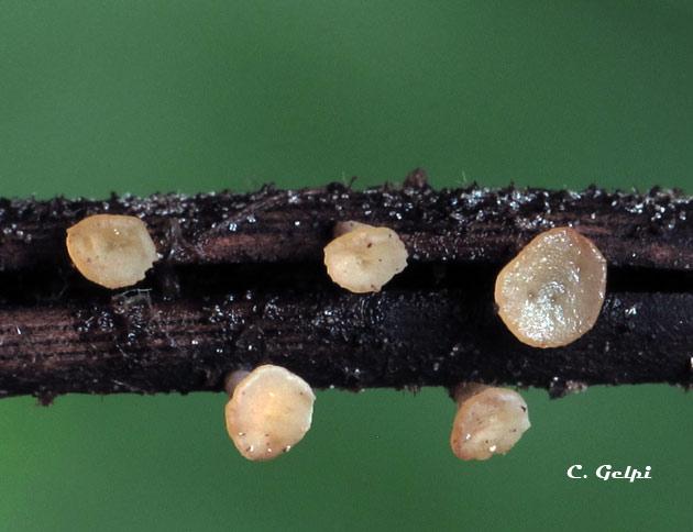 Hymenoscyphus epiphyllus