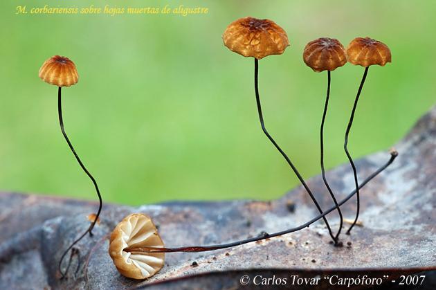 Marasmius corbariensis