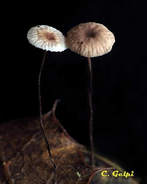 Marasmius quercophilus