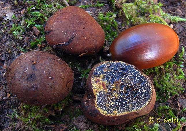 Melanogaster tuberiformis