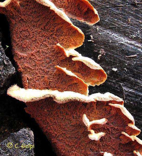 Merulius tremellosus