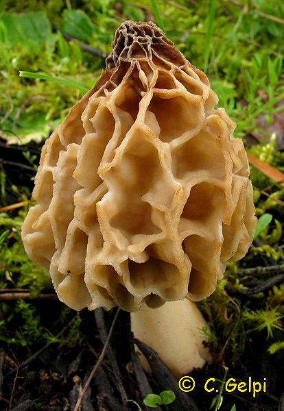 Morchella esculenta/Morchella esculenta var. vulgaris