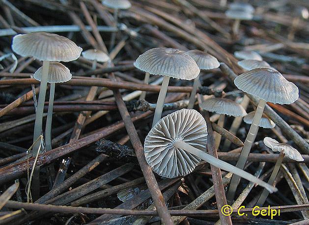 Mycena vulgaris