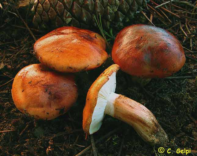 Tricholoma bastschii