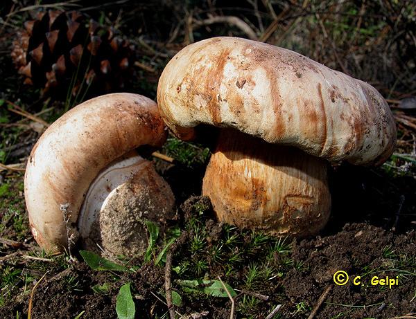 Tricholoma colossus