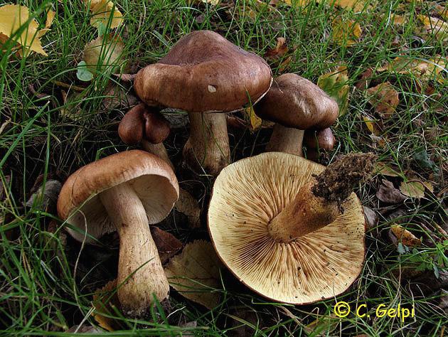 Tricholoma fulvum