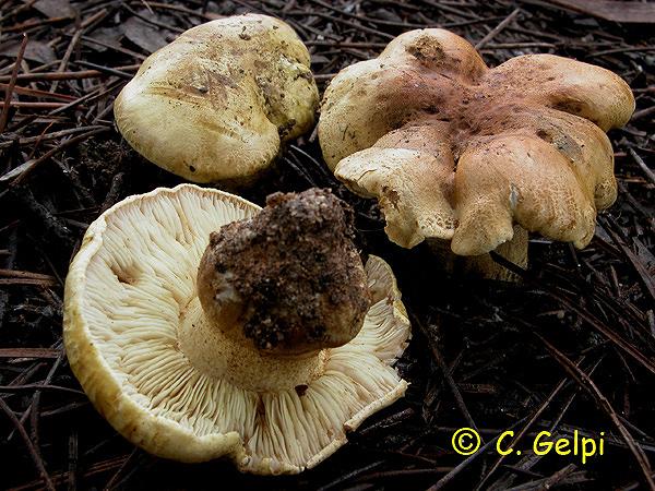 Tricholoma joachimii