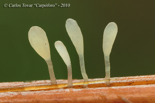Typhula quisquiliaris