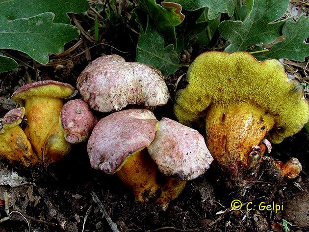 Boletus roseoalbidus = Pulchroboletus roseoalbidus