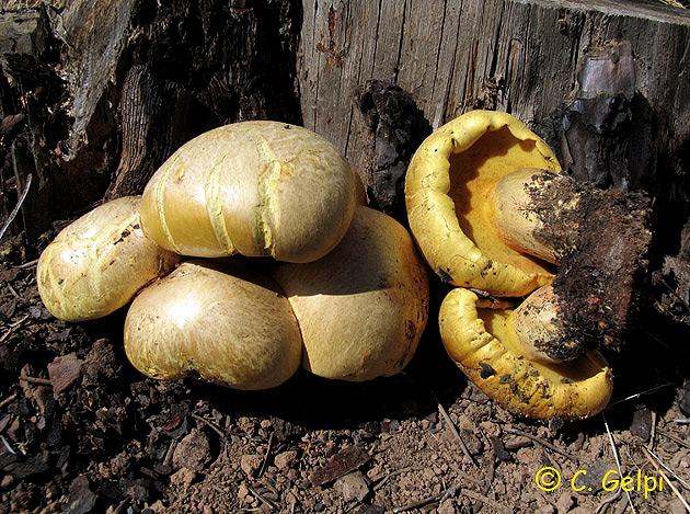 Buchwaldoboletus hemichrysus