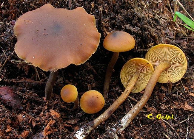 Callistosporium xanthophyllum