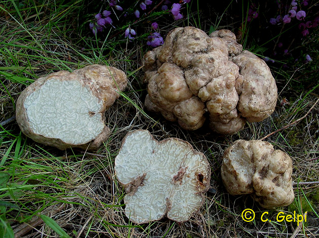 Choiromyces magnusii