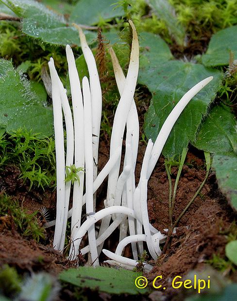 Clavaria vermicularis