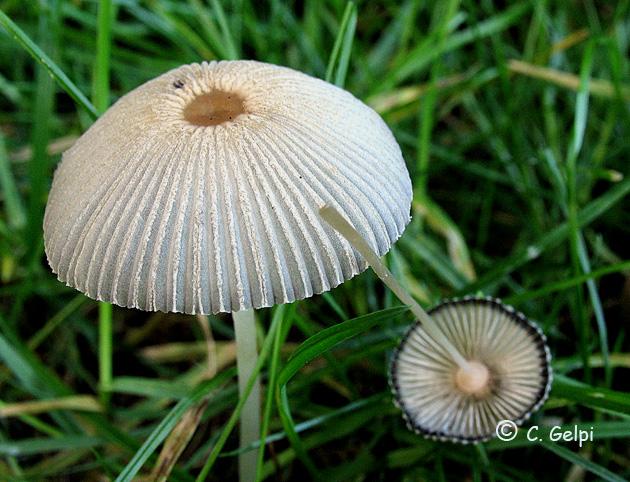 Coprinus plicatilis