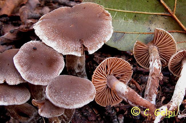 Cortinarius flexipes