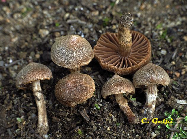 Cortinarius scobinaceus