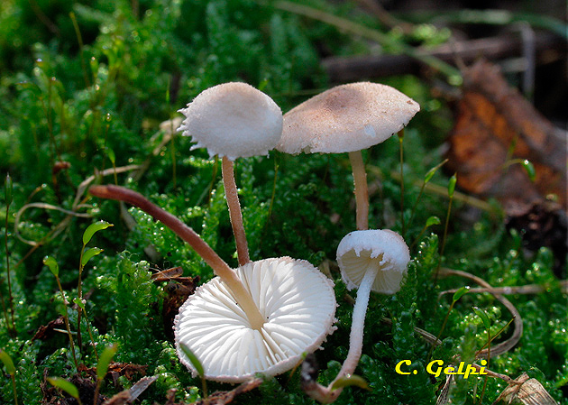 Cystolepiota fumosifolia