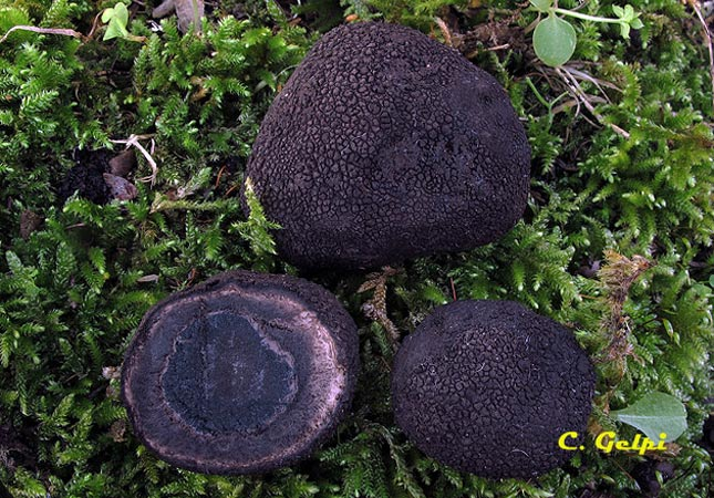 Elaphomyces foetidus