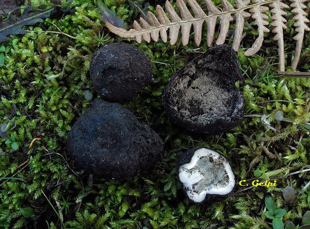 Elaphomyces maculatus