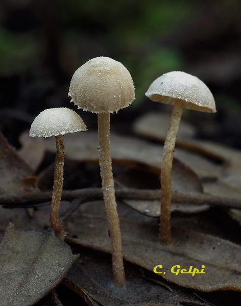 Flammulaster carpophilus