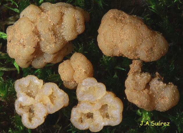 Genabea cerebriformis
