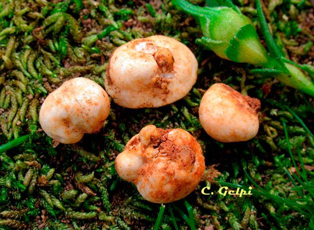 Gymnomyces sublevisporus/Gymnomyces xanthosporus