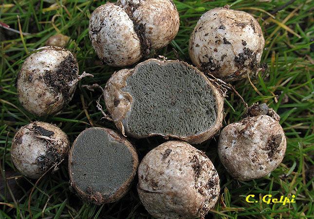 Hysterangium clathroides var. cistophilum