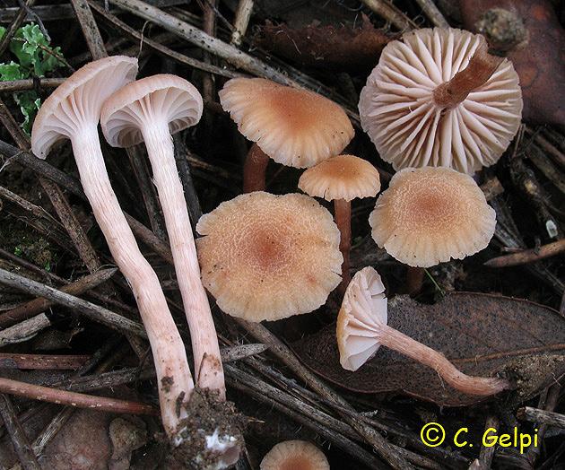 Laccaria laccata var. pallidifolia