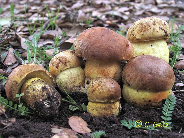 Leccinum crocipodium = Leccinellum crocipodium