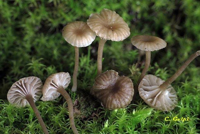 Lichenomphalia meridionalis/Amandinea punctata