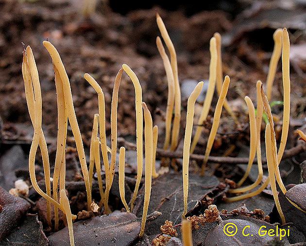 Macrotyphula juncea