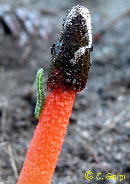 Phallus rubicundus