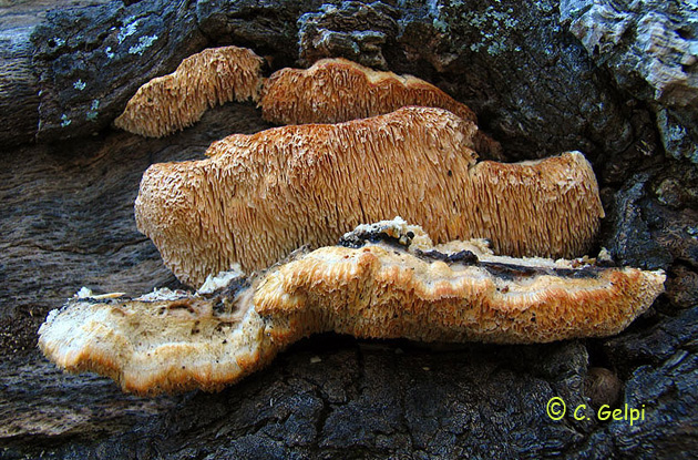 Spongipellis pachyodon