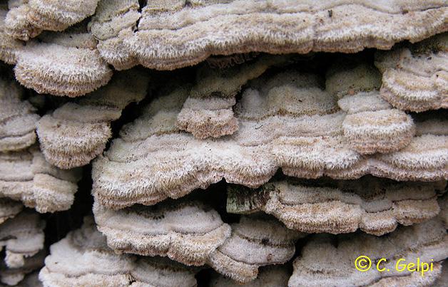 Trichaptum fusco-violaceum