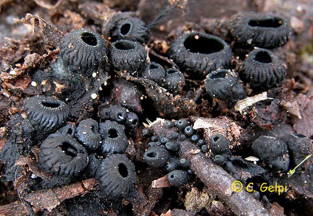 Urnula rhytidia/Hysterographium fraxini
